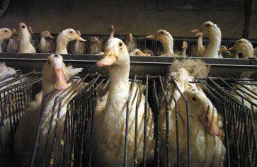 1280px-Cage_de_batterie_individuelle_pour_le_gavage_de_canards_destinés_à_l'industrie_du_foie_gras,_Sud-ouest_de_la_France,_2004